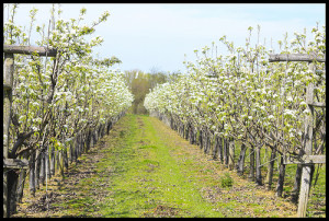 orchard-in-spring